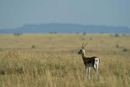 maasai mara: Grant's gazelle (Gazella granti), Maasai Mara Game Reserve, Kenya
