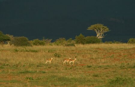 ungulates: Grant�s gazelle (Gazella granti), Mpala Research Center, Laikipia, Kenya