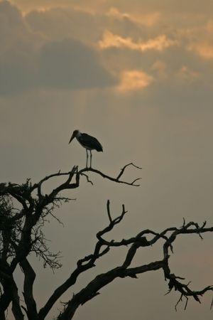 Marabou stork (Leptoptilos crumeniferus), Maasai Mara Game Reserve, Kenya photo