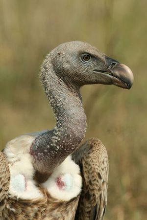 gyps: African white-backed vulture (Gyps africanus), Maasai Mara Game Reserve, Kenya Stock Photo
