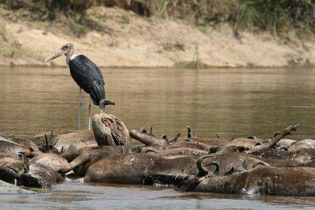 Marabou stork (Leptoptilos crumeniferus) and R�ppell�s griffon vulture (Gyps rueppellii) on drowned wildebeest, Maasai Mara Game Reserve, Kenya,  Stock Photo