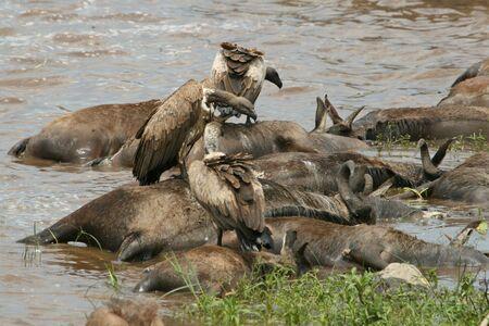 Rüppell's griffon vultures (Gyps rueppellii) on wildebeest carcass, Maasai Mara Game Reserve, Kenya
