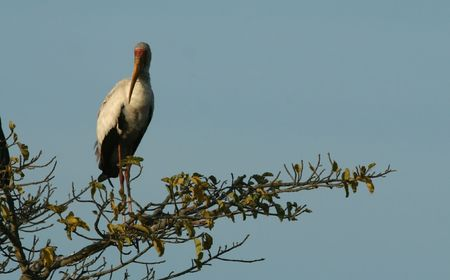 maasai mara: Yellow-billed stork (Mycteria ibis), Maasai Mara Game Reserve, Kenya,