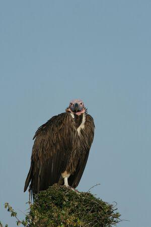 maasai mara: Lappet fronte-avvoltoio (Torgos tracheliotus), Maasai Mara Game Reserve, Kenya
