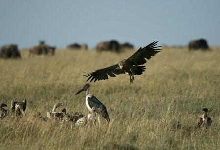 Rüppell's griffon vulture (Gyps rueppellii), Maasai Mara Game Reserve, Kenya Stock Photo