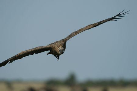 Rüppell's griffon vulture (Gyps rueppellii), Maasai Mara Game Reserve, Kenya photo
