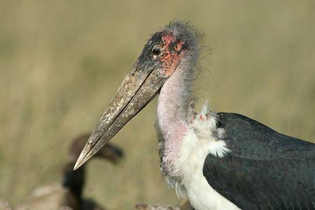 scavenging: Marabou stork (Leptoptilos crumeniferus), Maasai Mara Game Reserve, Kenya