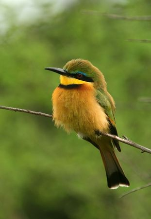 songbird: Little bee-eater (Merops pusillus), Maasai Mara Game Reserve, Kenya