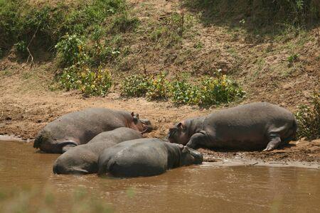 maasai mara: Hippopotamus (Hippopotamus amphibius), Masai Mara Game Reserve, Kenya