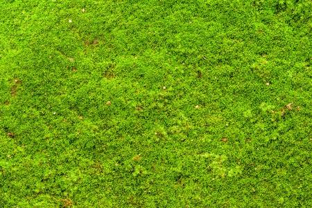 backgruond: Green moss backgruond close up Stock Photo