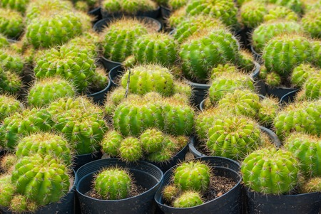 golden ball cactus in plant nursery photo