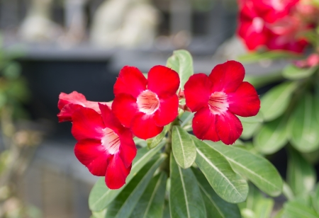 Adenium obesum (Desert Rose; Impala Lily; Mock Azalea) photo
