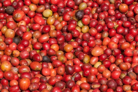 unpicked: Close up red berries coffee beans Stock Photo
