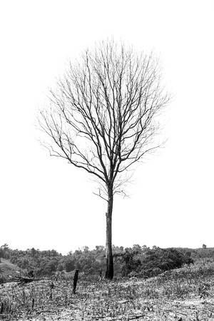 Dead tree on mobile plantation, black and white photo