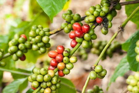 bush bean: Coffee tree with ripe berries on farm