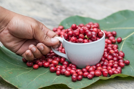 Coffee tree with ripe berries in cup photo