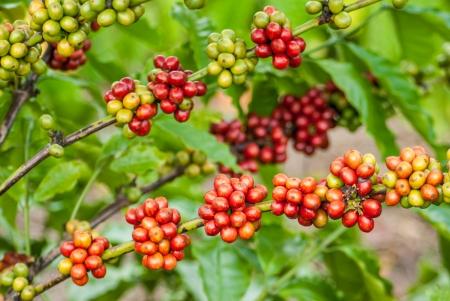 Koffie boom met rijpe bessen op de boerderij