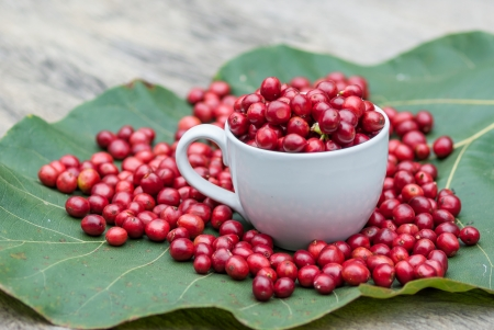 Coffee tree with ripe berries in cup