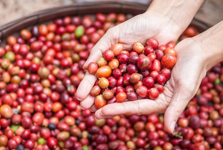 Close up red berries coffee beans on agriculturist hand photo