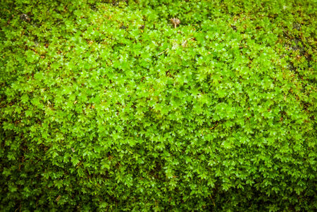 backgruond: Closeup green moss backgruond close up Stock Photo