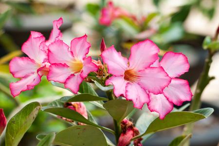 Adenium obesum, Desert Rose, Impala Lily, Mock Azalea Stock Photo - 26379902