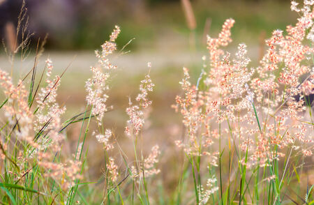 Melinis repens  Willd   Zizka , grass flower  photo