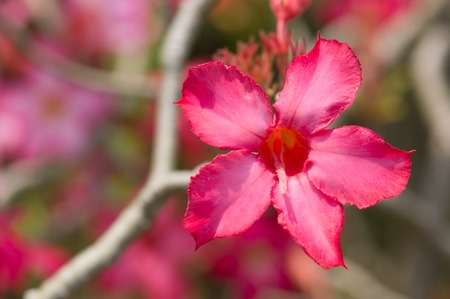 Adenium obesum (Desert Rose; Impala Lily; Mock Azalea) Stock Photo - 26379965