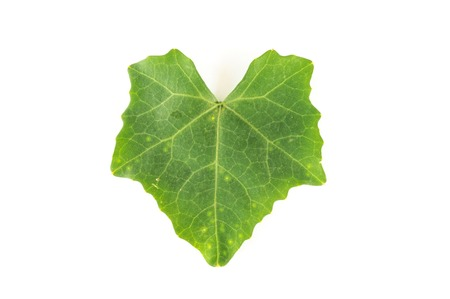 Leaf on a white background. (Coccinia grandis) photo