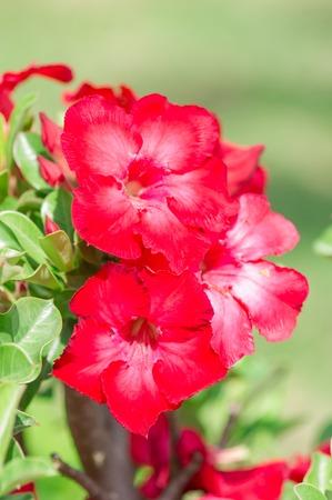 Desert Rose flower photo