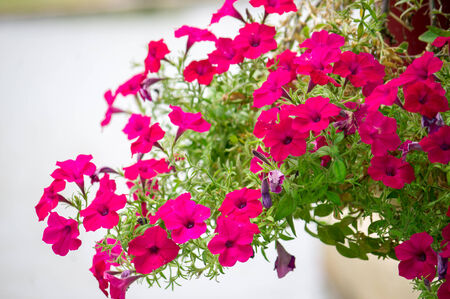 Colorful petunia flowers on blur background. close up photo
