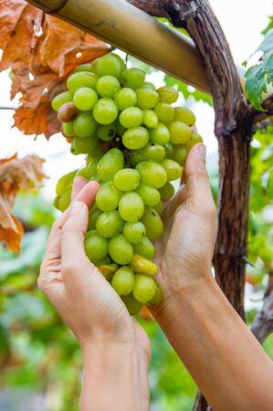 uvas vino: Mano que sostiene un racimo de uvas de vino de Chardonnay