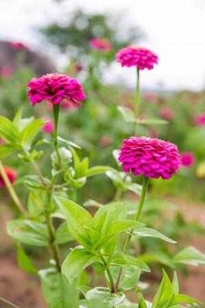 Pink Zinnia elegans flowers in garden photo