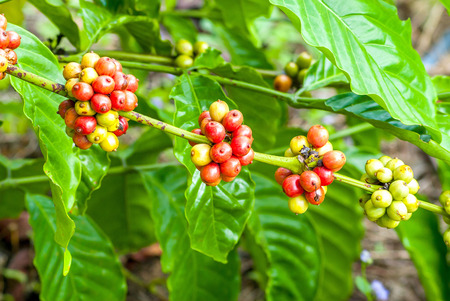 unroasted: Coffee tree with ripe berries on farm