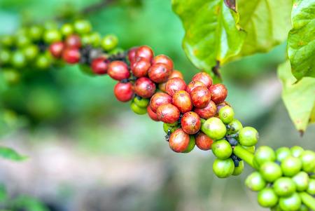 Coffee tree with ripe berries on farm photo