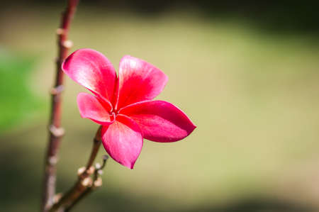 inflorescence: Plumeria flowers. Beautiful pink inflorescence. Stock Photo