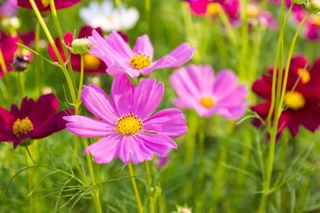 pink cosmos flowers in garden. photo