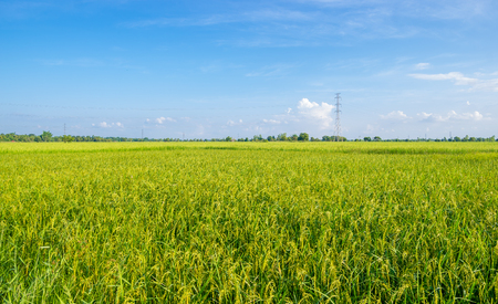 Rice field and blue sky. Thailand. photo