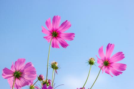 Cosmos flowers in garden. photo