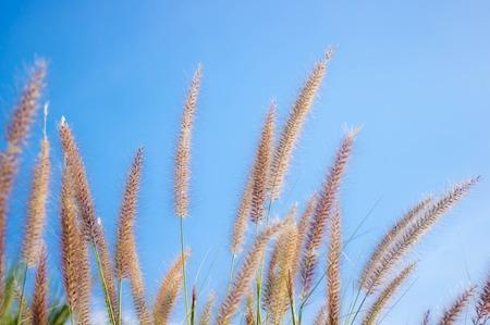 Flowering grass on blue sky. photo