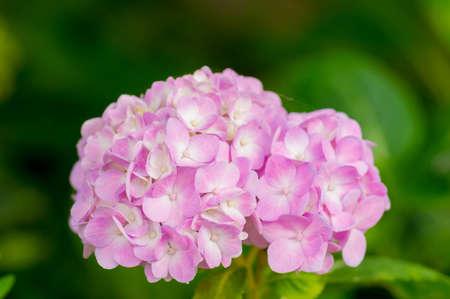 endless: Mophead Hydrangea - Hydrangea macrophylla Endless Summer. Stock Photo