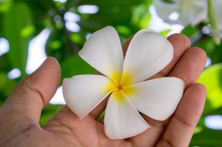 Closeup of male hand holding a tropical plumeria flower frangipani.