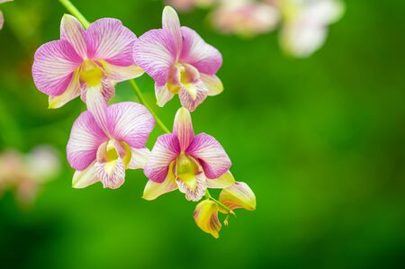 Orchid flower in garden at winter or spring day for postcard beauty and agriculture idea concept design. Phalaenopsis orchid.