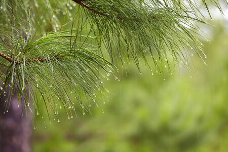 rain drop on pine tree in thailand photo
