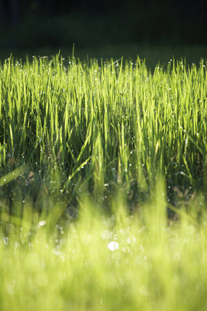 grass in morning light photo