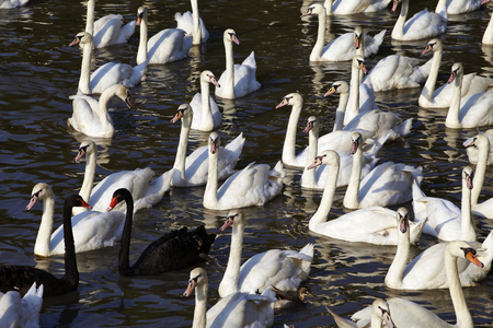 odd one out: many black and white swan