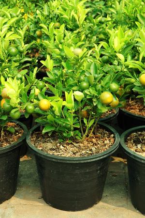 naranja arbol: naranjo asiático en el mercado de árbol Foto de archivo