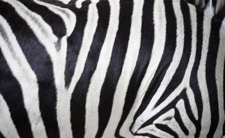 Close up zebra skin texture from zoo