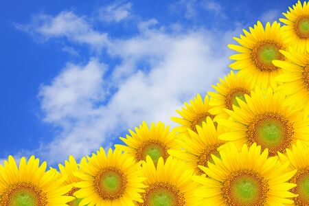blue sky and sunflower Use for summer concept or backgoound. Stock Photo - 11813903