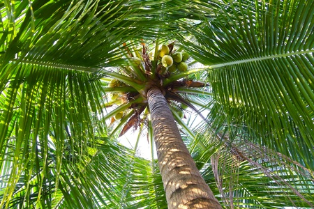 pictue of coconut tree. photo