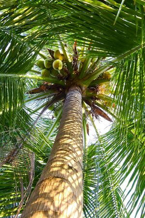 picture of coconut on the coconut tree. photo